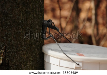 Making maple syrup - close up of bucket used to catch maple sap for syrup - stock photo