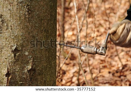 making maple syrup drilling a hole in maple tree for sap harvest - stock photo