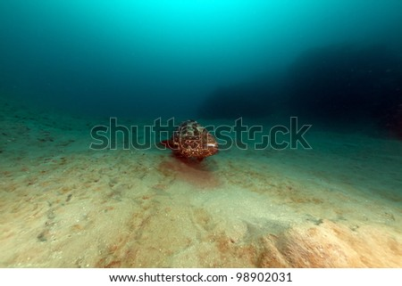 Malabar grouper in the Red Sea - stock photo