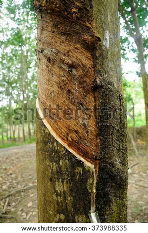 MALACCA, MALAYSIA â?? SEPTEMBER 25, 2015: Rubber trees or Hevea brasiliensis is plantation. Milky latex extracted from rubber tree or a.k.a Hevea Brasiliensis as a source of natural rubber.