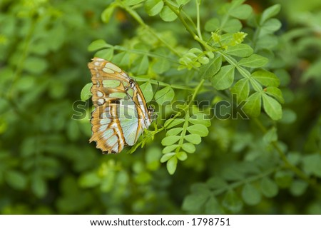 Malachite butterfly on plant - stock photo