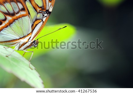 Malachite butterfly on the leaf