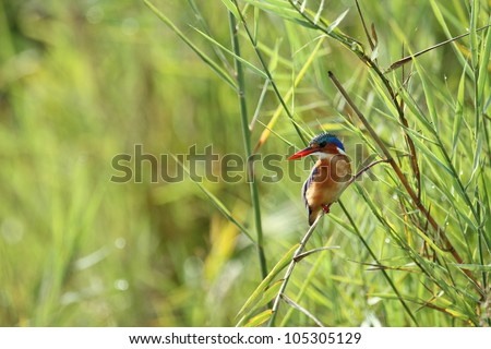 Malachite King Fisher, colourful bird, perched on reeds at water edge - stock photo