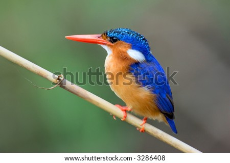 Malachite Kingfisher; Alcedo Cristata; Kruger National Park; South Africa
