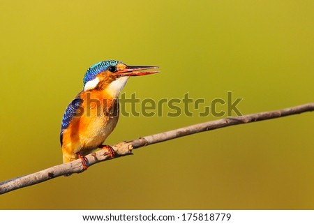 Malachite kingfisher sitting on a thin branch with open beak, South Africa