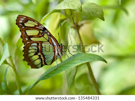 Malachite (Siproeta stelenes) butterfly perched on leaf. It is named for the mineral malachite, which is similar in color to the bright green on the butterfly's wings. Natural green background. - stock photo