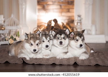 Malamute puppies lying on woolen plaid and warming themselves by the fireplace. Four puppies. Selective focus, toned image. Horizontal - stock photo