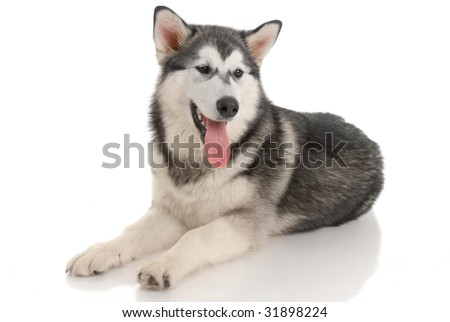 malamute purebred dog in the studio