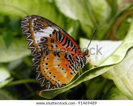 Malay Lacewing resting on a leaf
