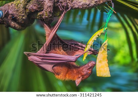 Malayan bat eating fruits and  hanging on a tree branch - stock photo