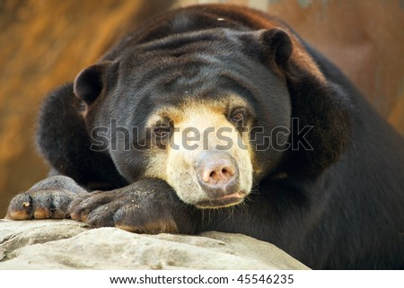 Malayan Sun Bear close up