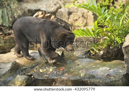 Malayan Sun Bear walking on the rocks. The scientific name is Helarctos malayanus