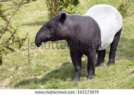 Malayan tapir (Tapirus indicus) on grass - stock photo