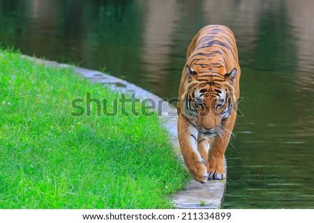 Malayan tiger is walking around reservoir - stock photo