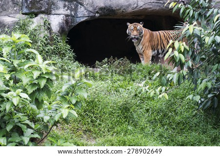 Malayan Tiger Standing Near a zoo cave - stock photo