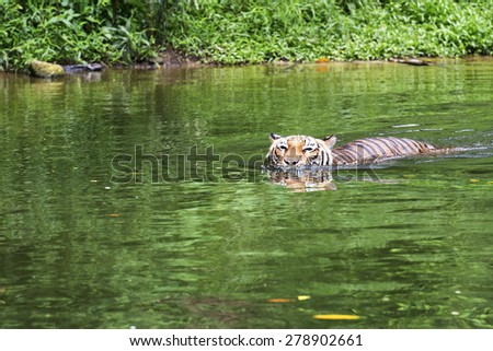 Malayan Tiger swimming in a River - stock photo