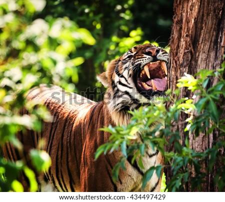 Malayan tiger waiting under the tree  - stock photo