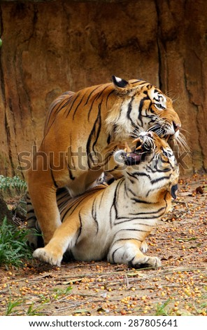 Malayan tigers are mated  - stock photo