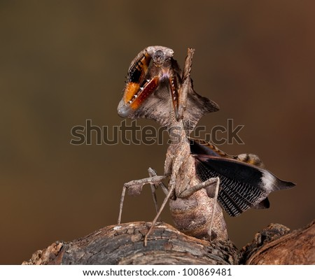 Malaysian Dead Leaf Mantis (Deroplatys Lobata) in a specific posture. Attacking the enemy and spreading his wings