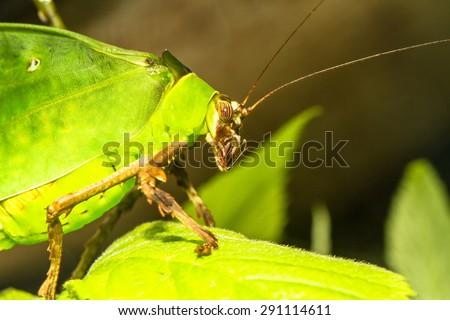Malaysian katydid half-body profile macro - stock photo