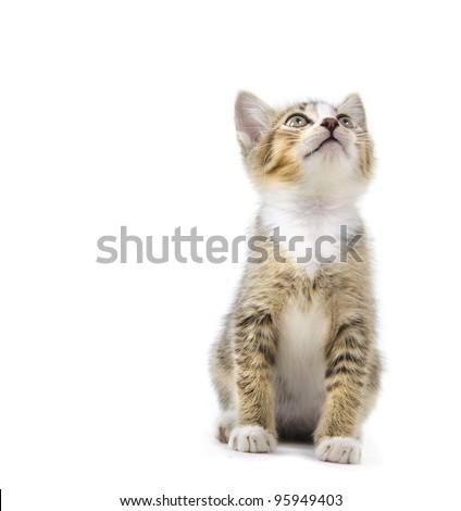 malaysian stray kitten isolated on white - stock photo
