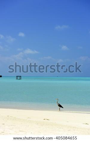 Maldivian Heron - stock photo