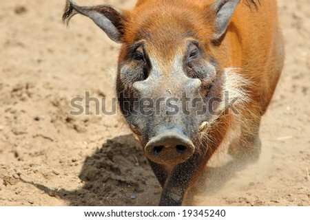 male a wild pig protects the harem from another's intrusion - stock photo