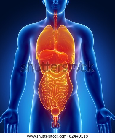 Male abdominal and thorax organs - stock photo