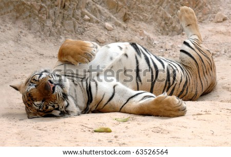 male adult bengal tiger sleeping on ground, thailand, asia , big striped pussycat panthera tigris.  furry sleeping pussy feline carnivore hunter tiger temple near burma - stock photo