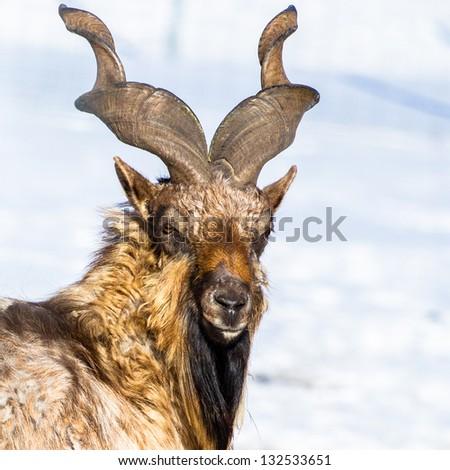 Male adult markhor - stock photo