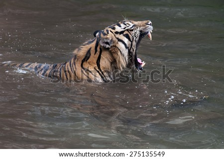 Male Adult Sumatran Tiger on the ponds - stock photo