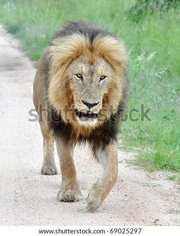 Male Africa Lion in the Kruger National Park, South Africa - stock photo