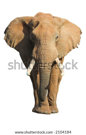 Male African Elephant isolated on white background - stock photo