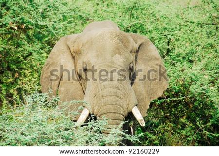 Male African elephant, Murchinson Falls National Park (Uganda) - stock photo