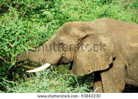 Male African elephant, Murchison Falls National Park (Uganda) - stock photo