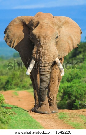 Male African Elephant portrait - stock photo