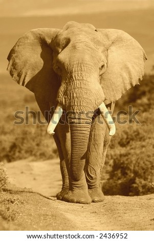 Male African Elephant portrait in Sepia - stock photo