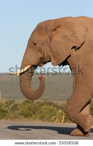Male african elephant walking across road - stock photo