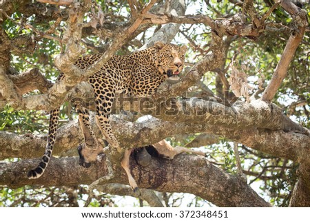 Male African Leopard in a tree with a kill, Serengeti, Tanzania