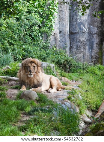 Male African Lion. A photograph depicts a resting male African lion. - stock photo