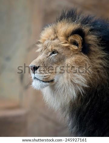 Male African lion closeup profile portrait - stock photo