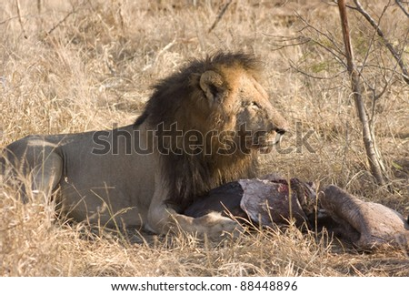 Male african lion feeding on his kill of a baby rhino - stock photo