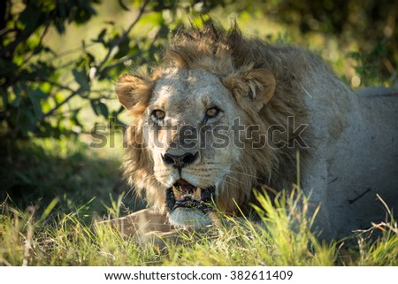 Male African Lion in Khwai Reserve in Botswana - stock photo