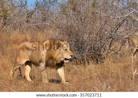 male african lion in South Africa
