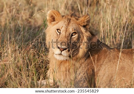 Male African Lion in the Maasai Mara National Park, Kenya - stock photo