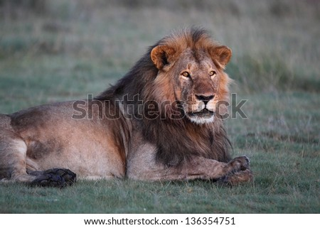 Male african lion lying on green grass - stock photo