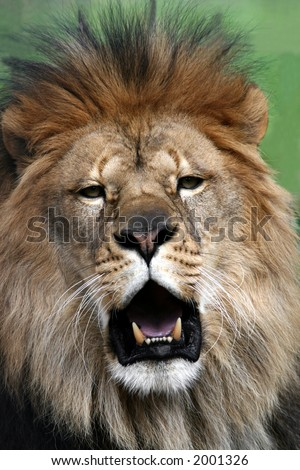 Male African Lion, mouth gaping showing teeth - stock photo