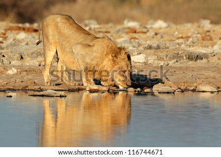 Male African lion (Panthera leo) drinking water, Etosha National Park, Namibia, southern Africa - stock photo