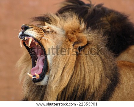 Male African Lion (Panthera leo) in Africa, one of the big five of wildlife. - stock photo