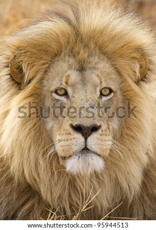 Male African Lion (Panthera leo) in South Africa